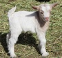 Bells Goats Sweet Sixteen